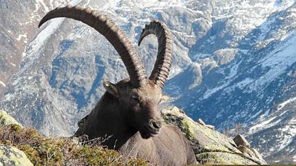 Гуляя летом по альпийским тропинкам, следует быть готовым к встрече с обитателями местных гор и лесов, чтобы не испугаться, а проявить к ним вежливость